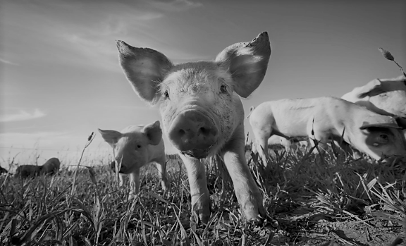 5 Chinese Stocks Into Pig Farms